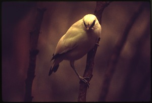 Image of Bali Myna, also known as Rothschild's Mynah, Bali Starling, or Bali Mynah, at National Zoological Park