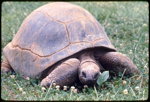 Image of Aldabra Tortoise at National Zoological Park