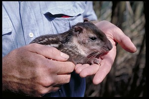 Image of Biologist Nicholas Smythe with Baby Paca, Panama, STRI