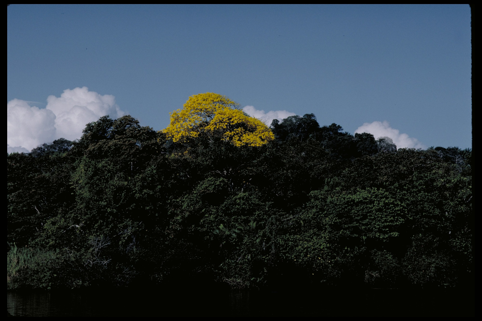 Flowering Trees, Panama, STRI, 1986, Smithsonian Institution Archives, SIA Acc. 11-009 [88-7053].