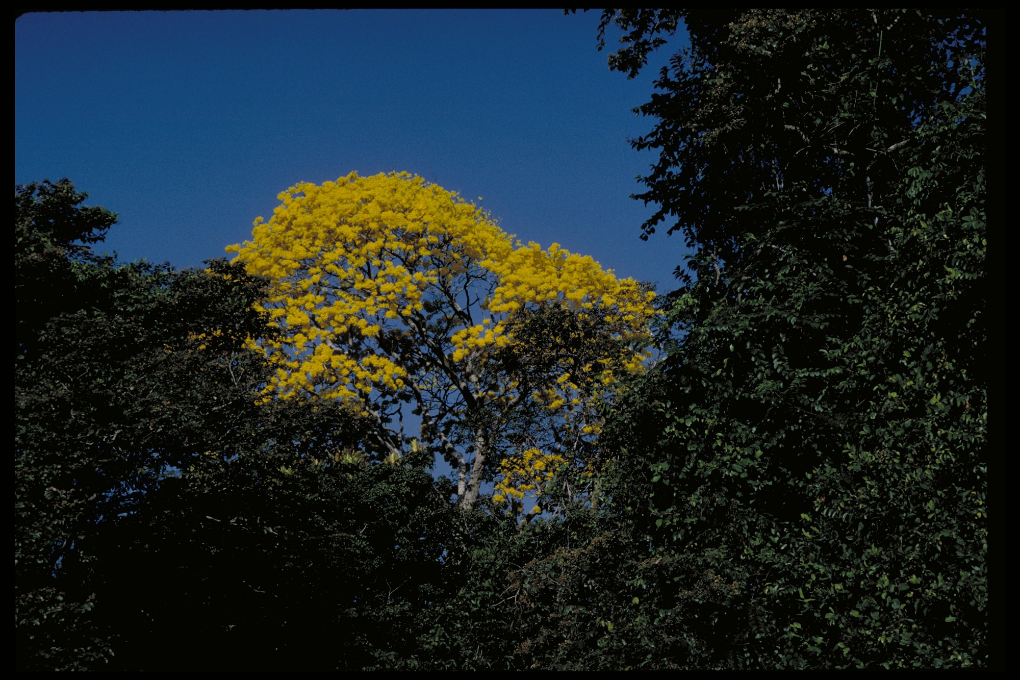 Flowering Trees, Panama, STRI, 1986, Smithsonian Institution Archives, SIA Acc. 11-009 [88-7055].