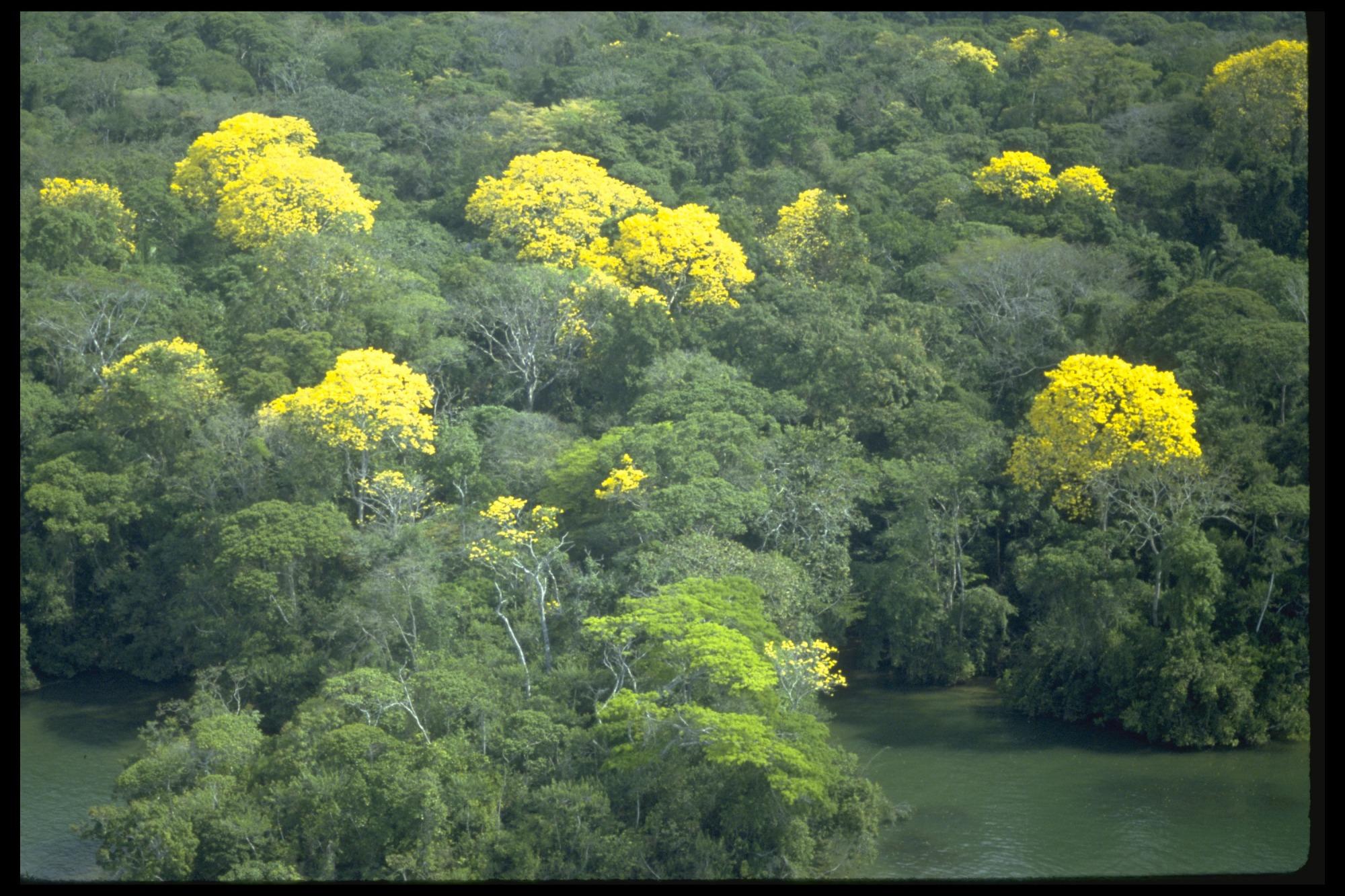 Aerial View of Guayacan and Jacaranda Trees, Panama, STRI