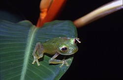 Glass Frog at Smithsonian Tropical Research Institute (STRI), Barro Colorado Island, Panama