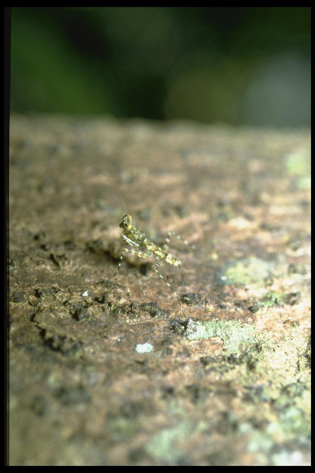 Unidentified Insect on Barro Colorado Island (BCI), Panama, STRI