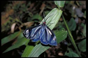 Image of Moth, Panama, STRI