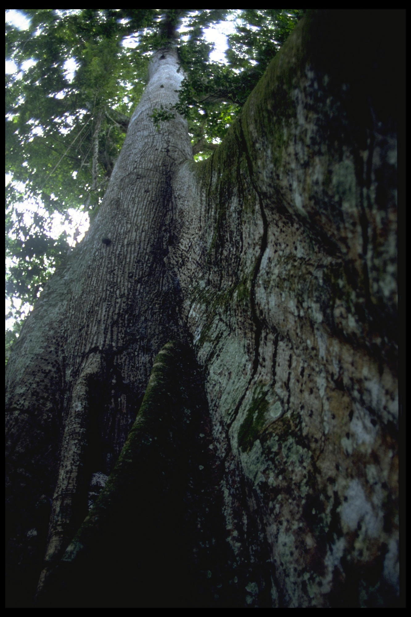 Jungle Forestation on Barro Colorado Island (BCI), Panama, STRI