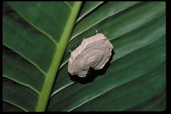 Wasps, Panama, STRI