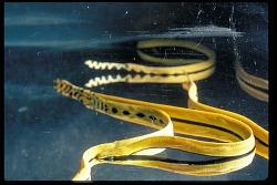 Sea Snakes, Panama, STRI