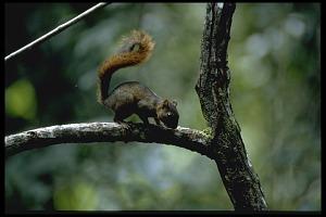 Image of Squirrel at Barro Colorado Island (BCI), Panama, STRI