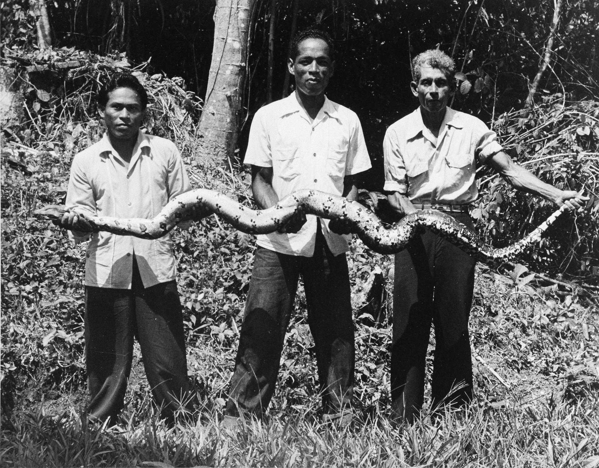 STRI Staff Holding Snake, by Unknown, c.1960s, Smithsonian Archives - History Div, 90-10886.