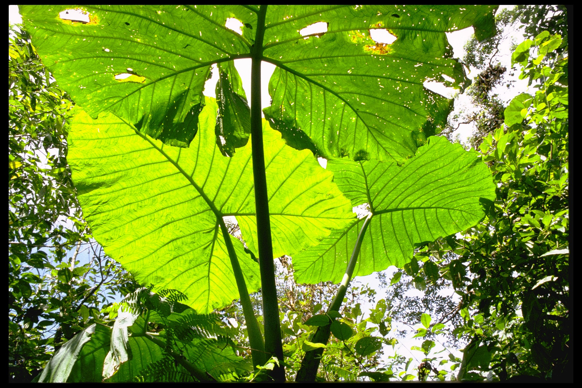 images for Flora at Fortuna Research Station, Chiriqui Province, Panama, STRI