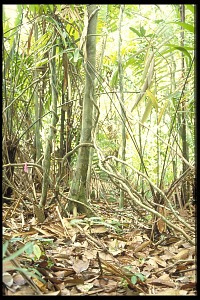 Image of Caterpillar Study, Panama, STRI