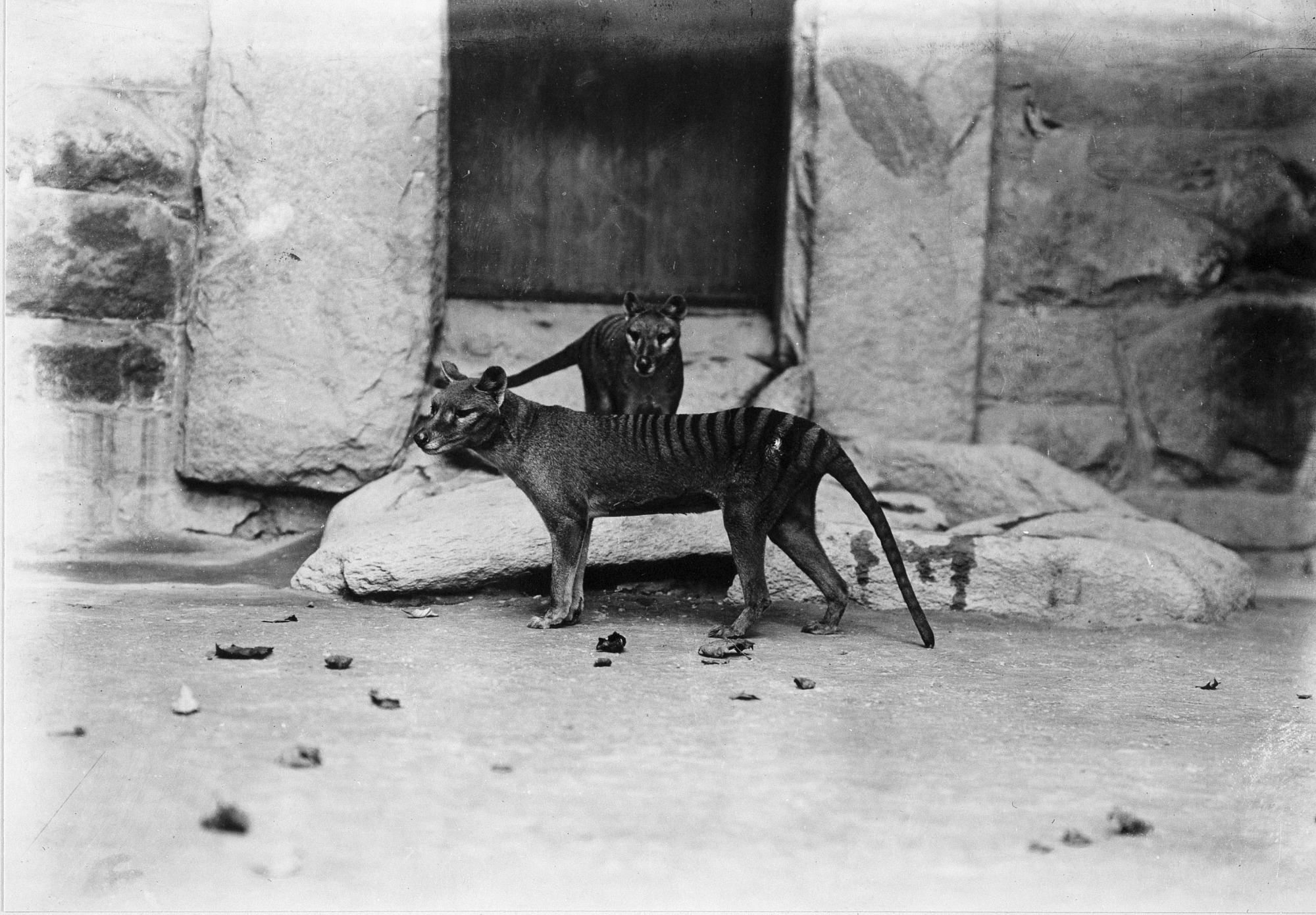 Thylacines (Tasmanian Wolves) at the National Zoo