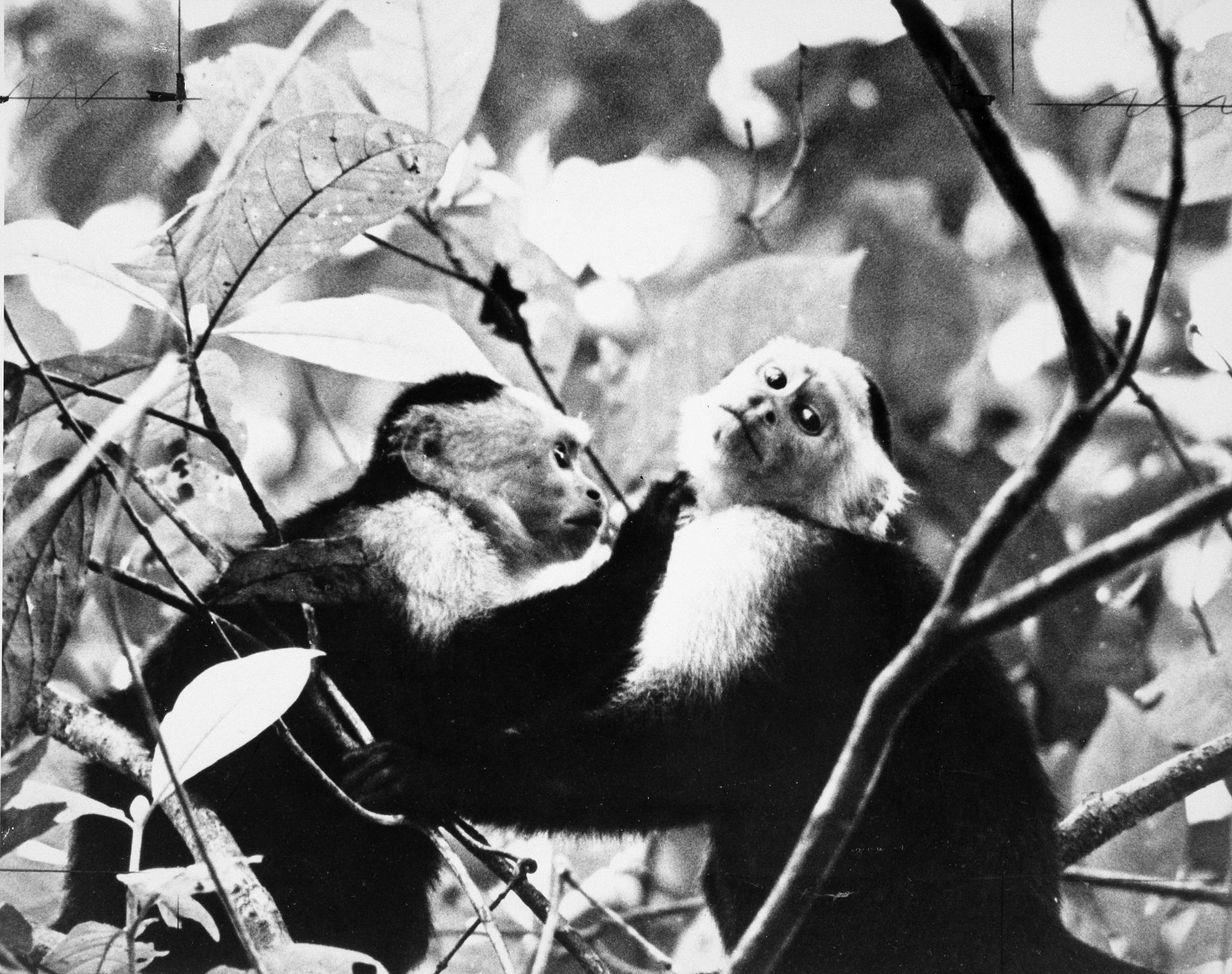 Two Cebas Monkeys at STRI