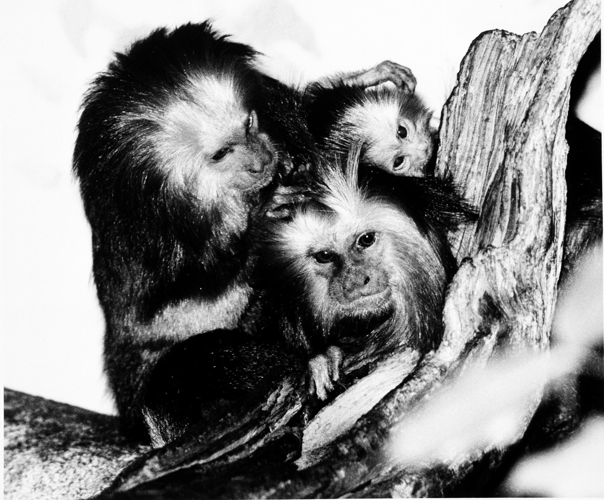 NZP's Golden-Headed Lion Tamarin Family