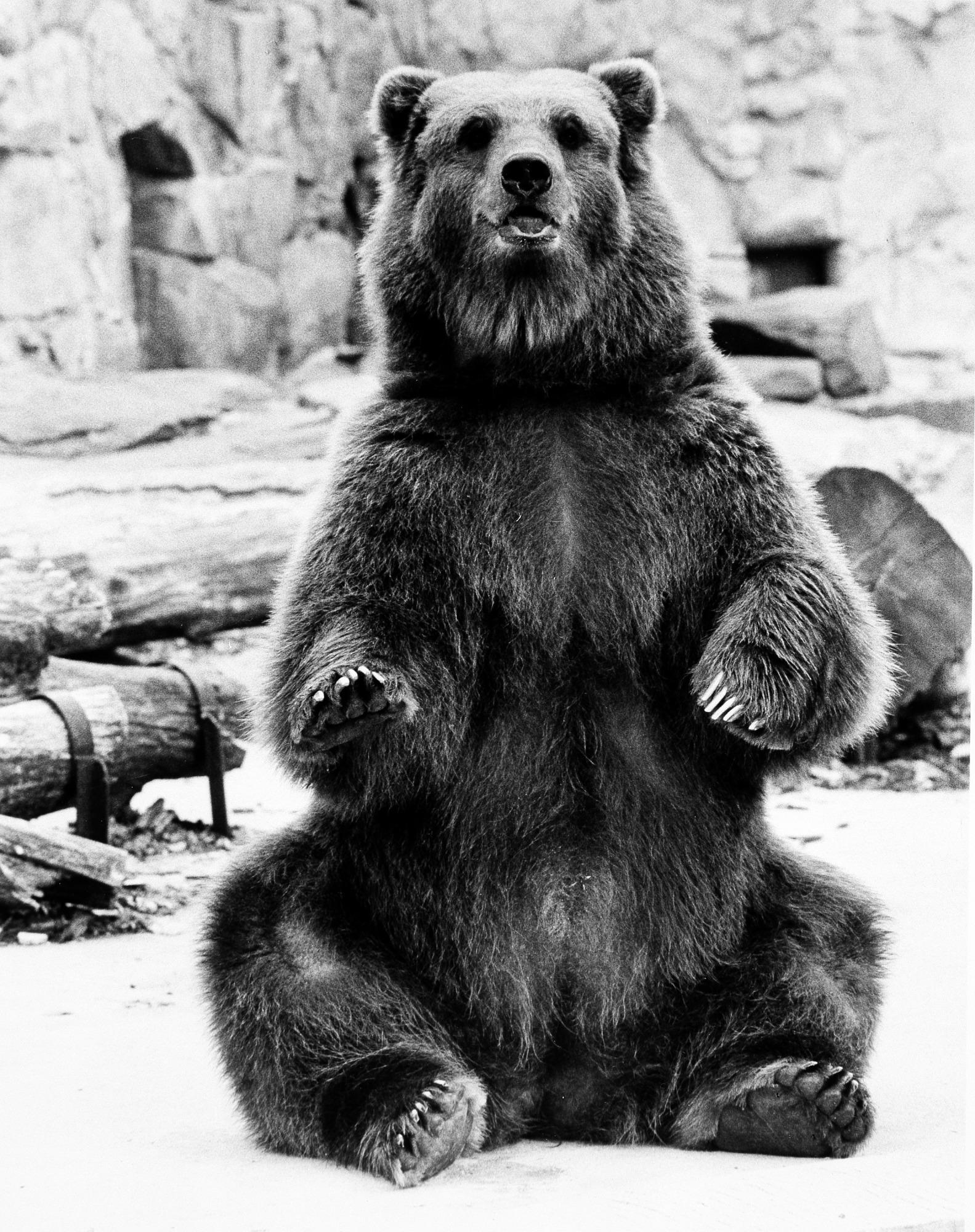 The NZP's Kodiak Bear, by Cohen, Jessie, c. 1984, Smithsonian Archives - History Div, 96-1011.