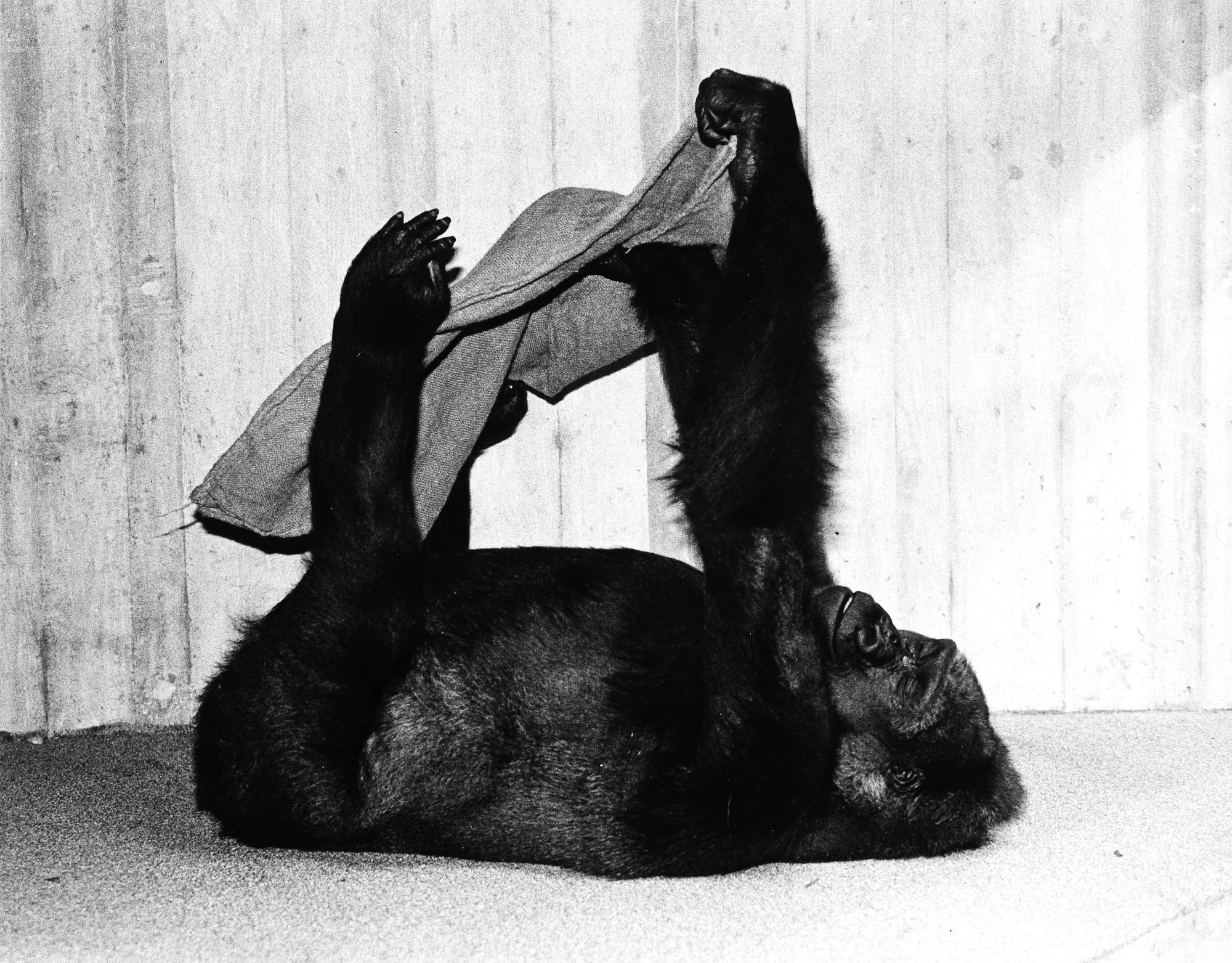 NZP Gorilla Femelle Plays with Burlap Sack