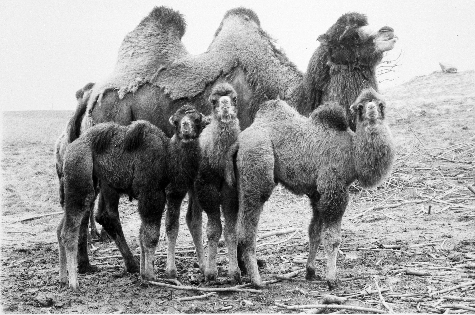 Bactrian Camels at CRC, by Unknown, 1980, Smithsonian Archives - History Div, 96-1017.