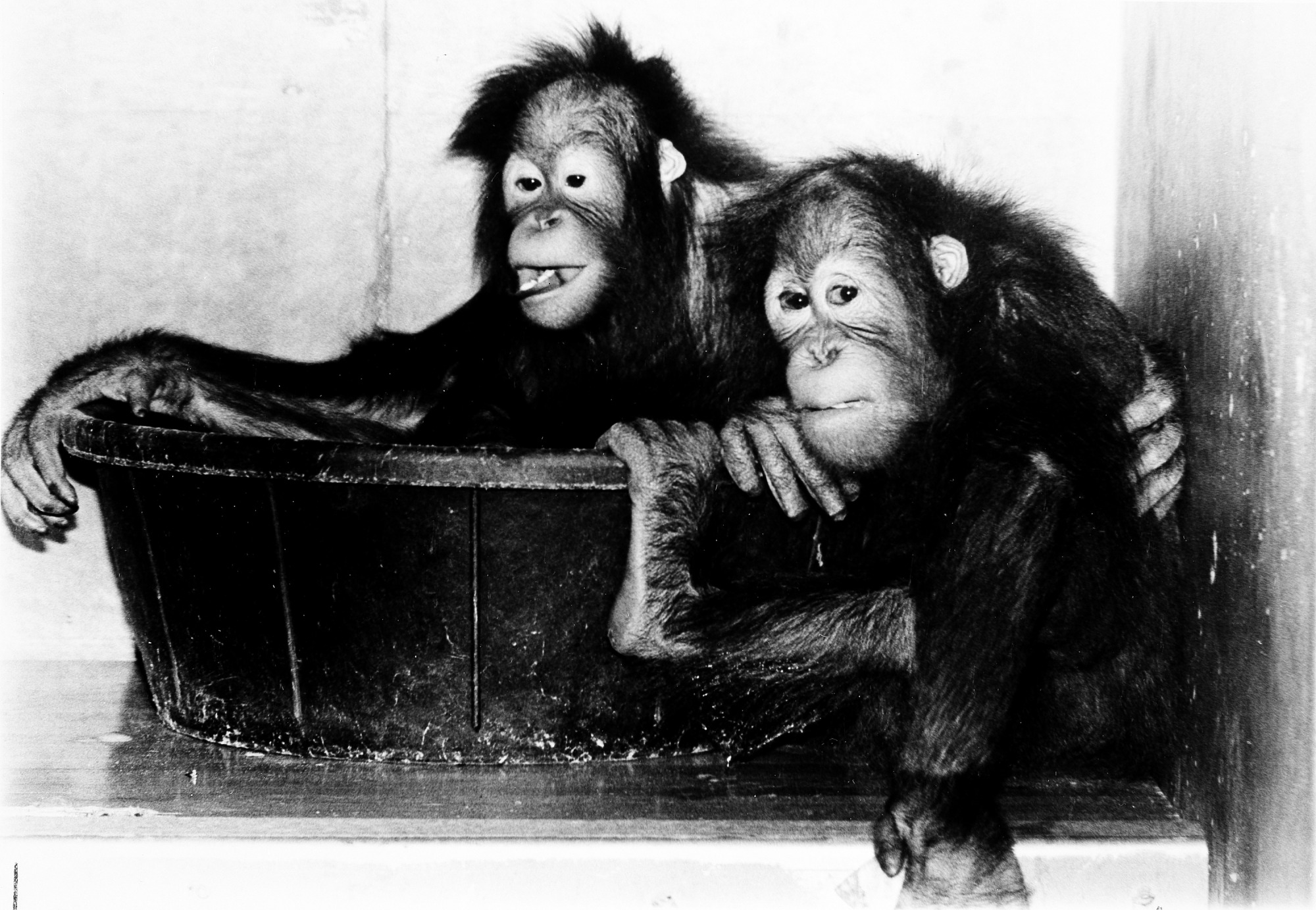 NZP's Orangutans Bonnie and Azy
