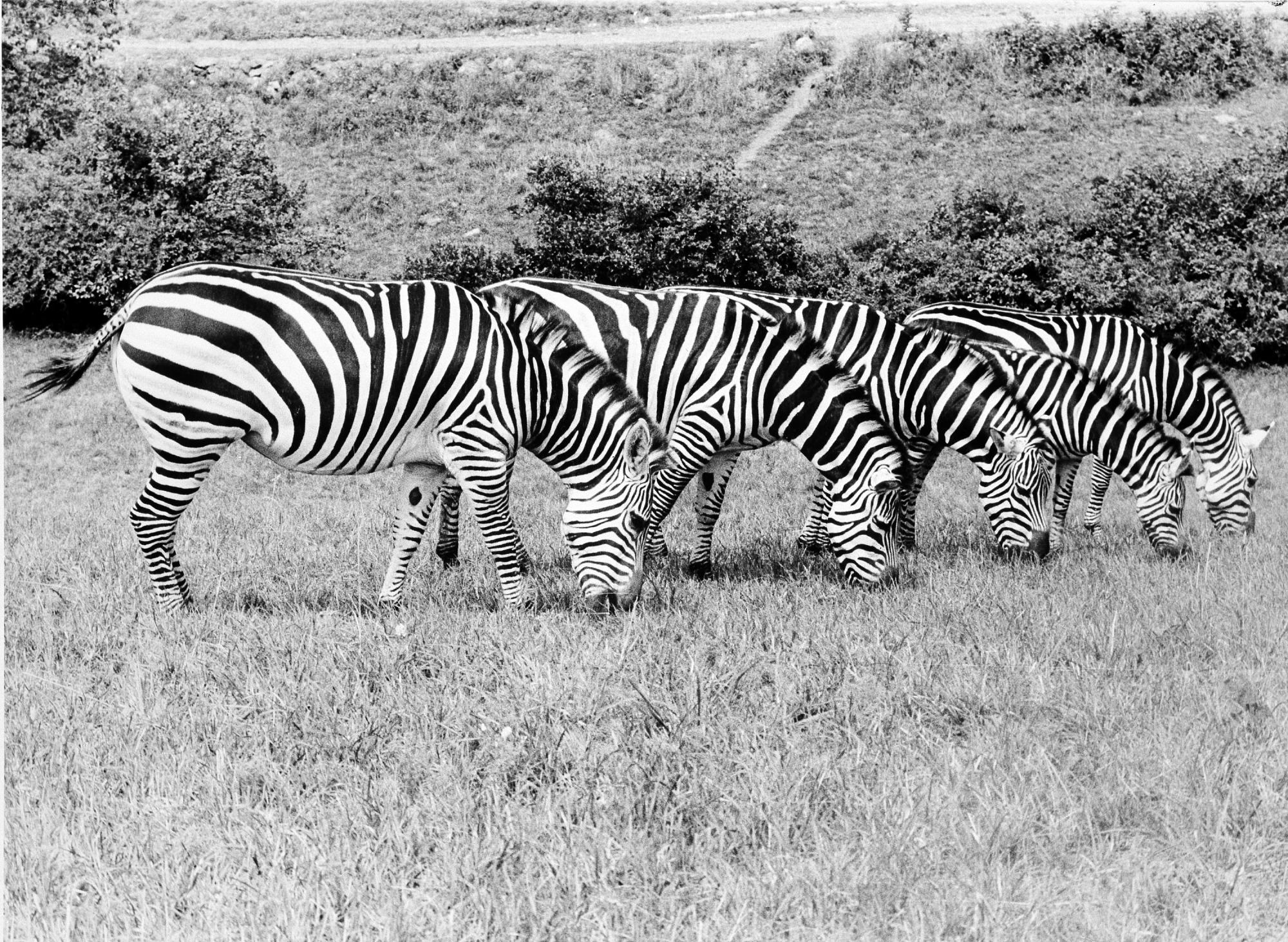 Zebras at Conservation & Research Center, Front Royal, VA