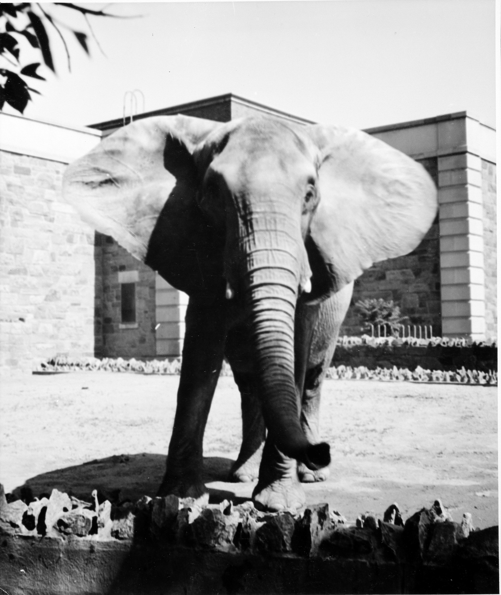 African Elephant at the NZP, by Unknown, Smithsonian Archives - History Div, 97-3046.
