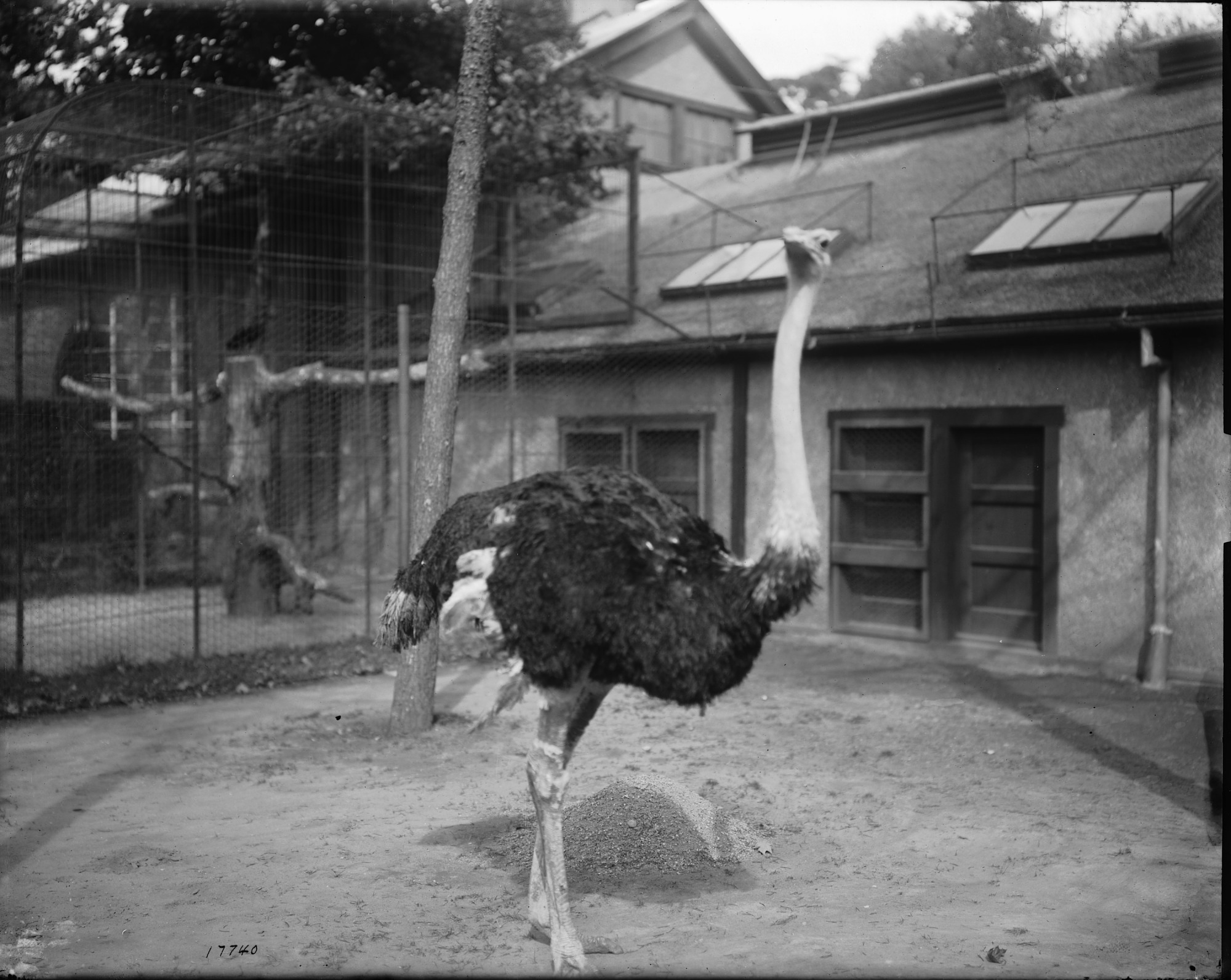 Ostrich at the National Zoo