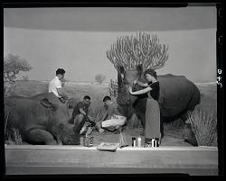 Preparation of Rhinoceros Diorama