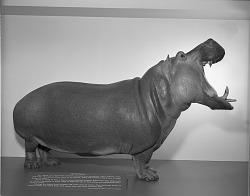 Hippopotamus, Hall of Mammals, National Museum of Natural History