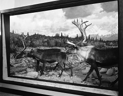 Caribou Group, National Museum of Natural History