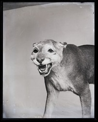 Taxidermy Mount of Cougar
