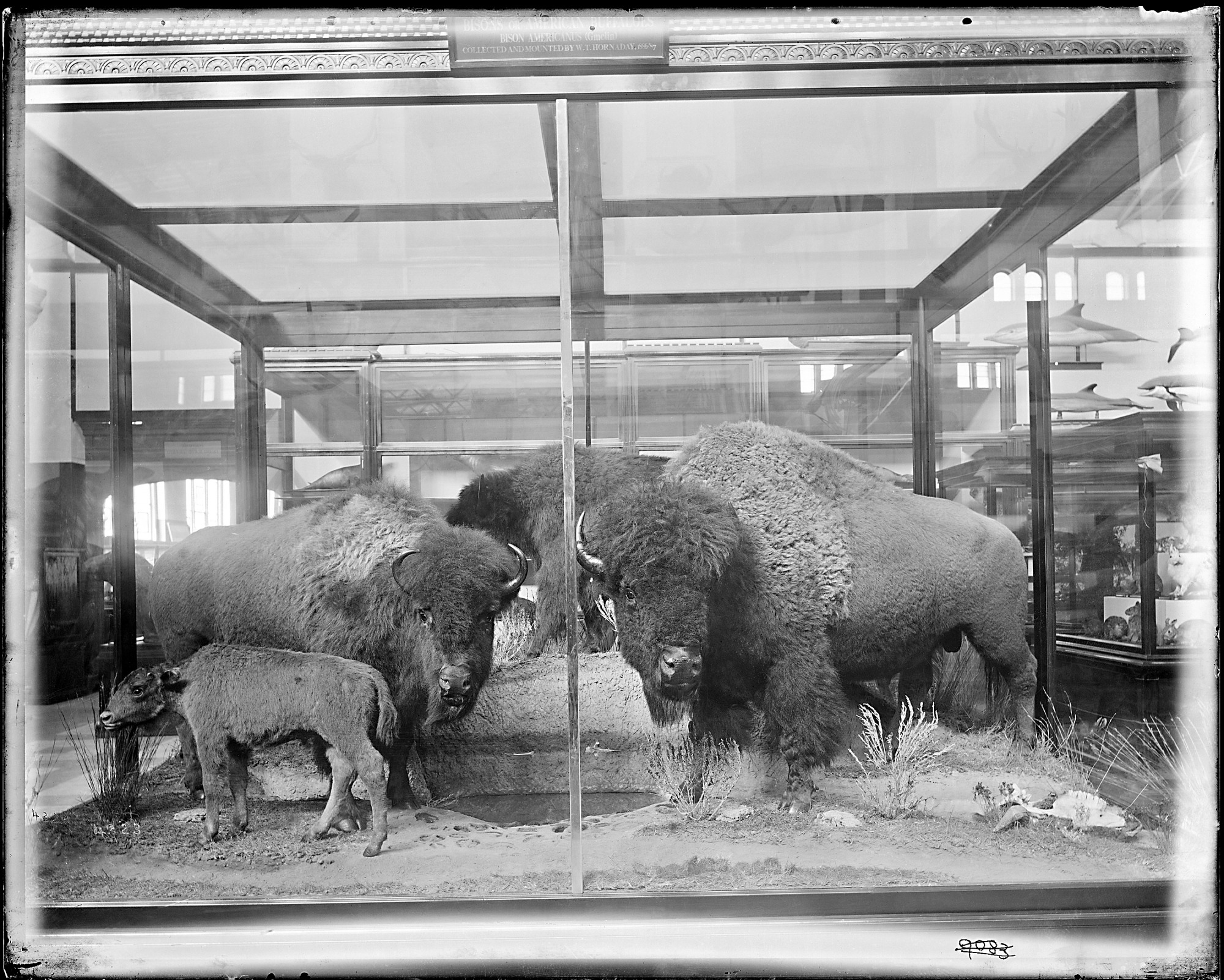 American Buffaloes Exhibit