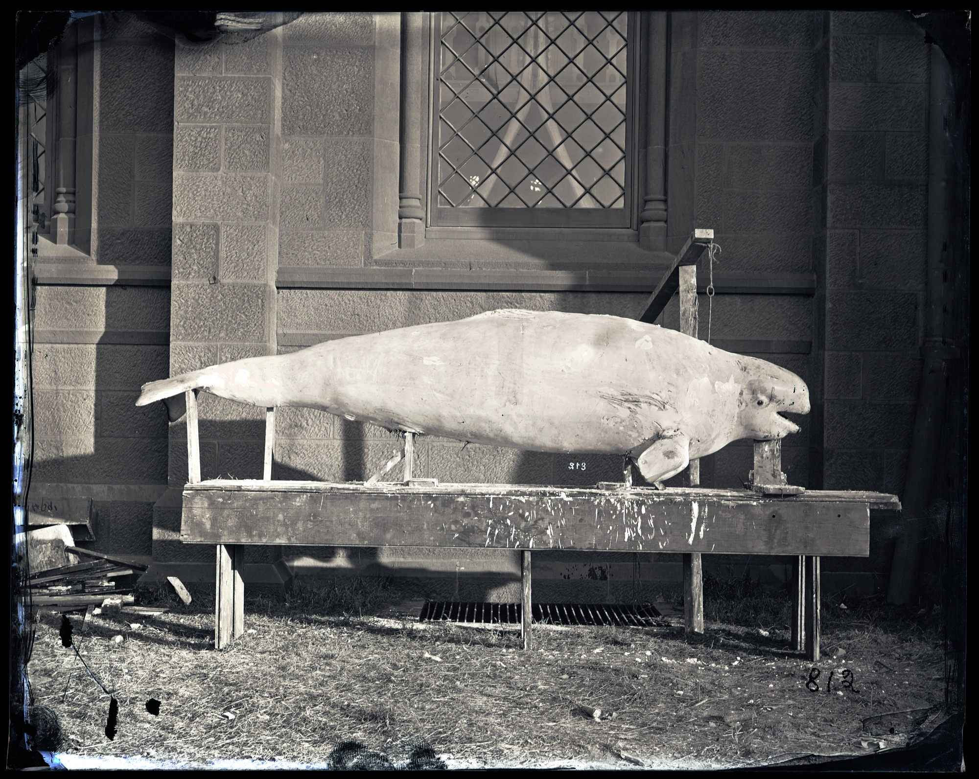 Plaster Cast of Beluga Whale, 1880, Smithsonian Institution Archives, SIA Acc. 11-007 [MNH-812].