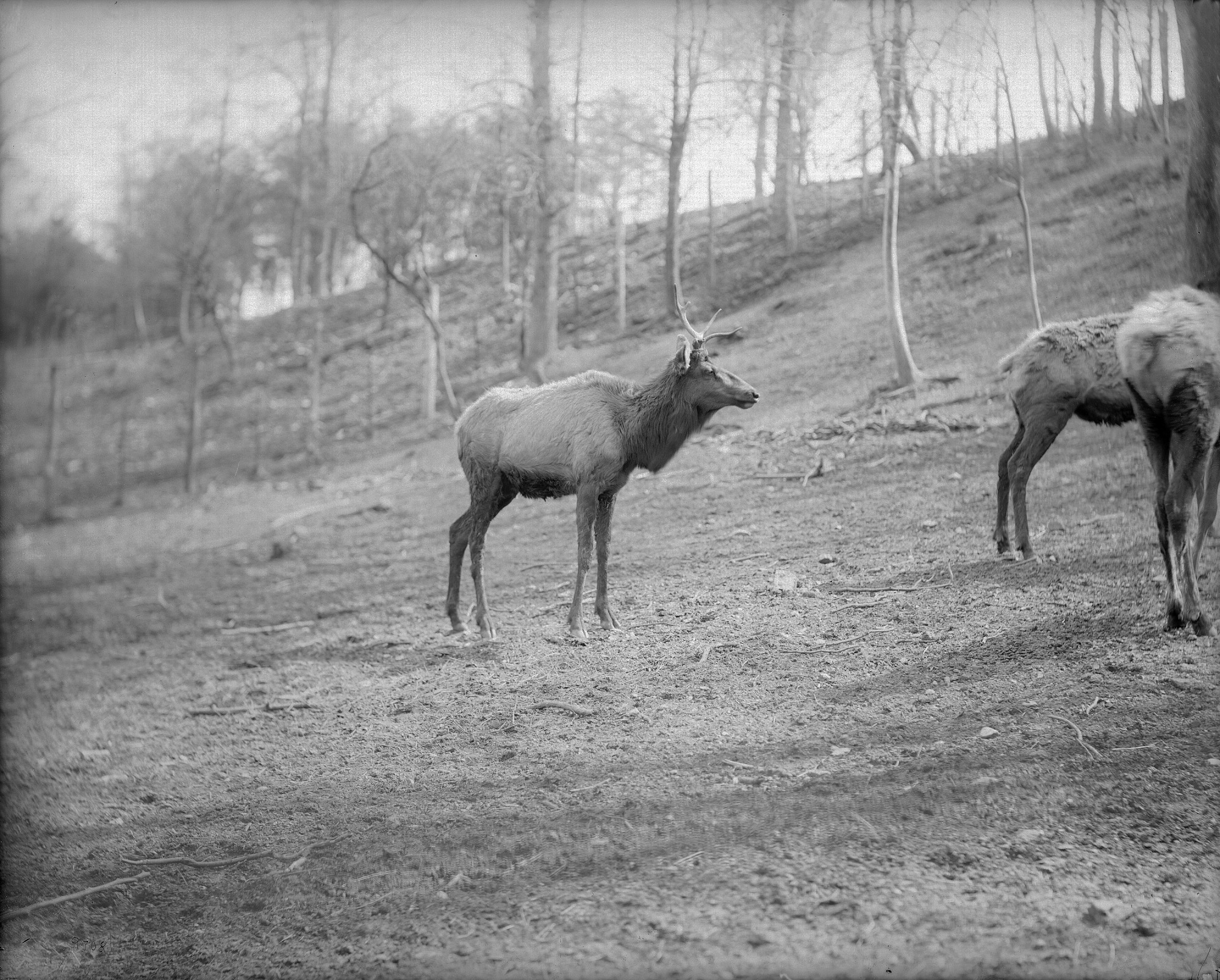 Group of Elk at the National Zoo