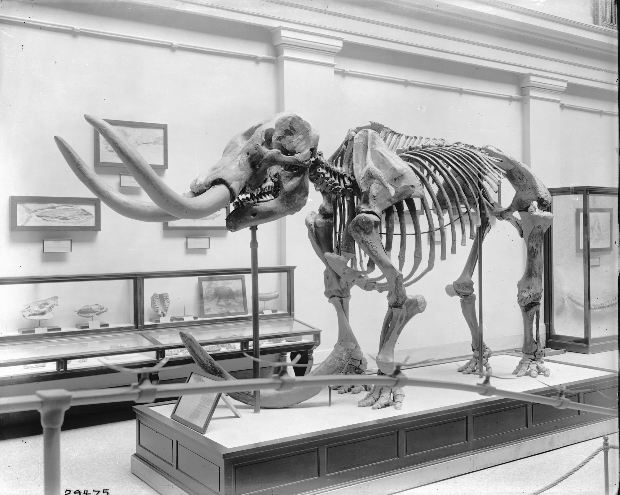 images for American Mastodon, Paleontology Hall