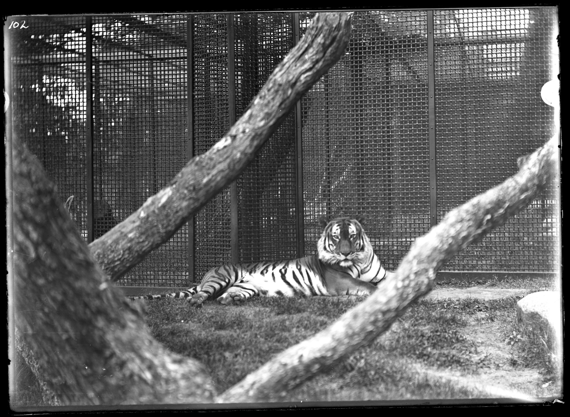 Bengal Tiger, Male, 1896, Smithsonian Institution Archives, SIA Acc. 14-167 [NZP-0102].