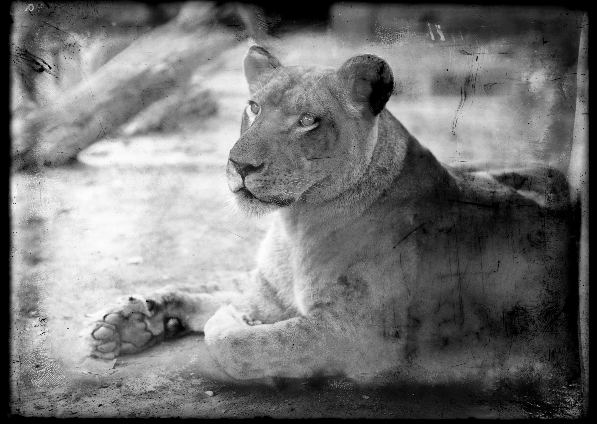 Lion, Female, 1909, Smithsonian Institution Archives, SIA Acc. 14-167 [NZP-0104].