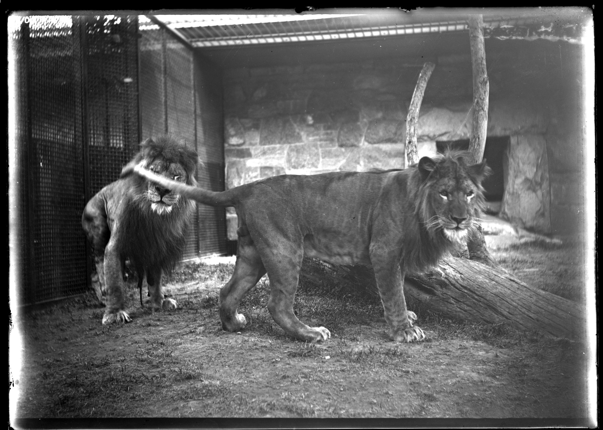 Two Lions, Males, 1905, Smithsonian Institution Archives, SIA Acc. 14-167 [NZP-0105].
