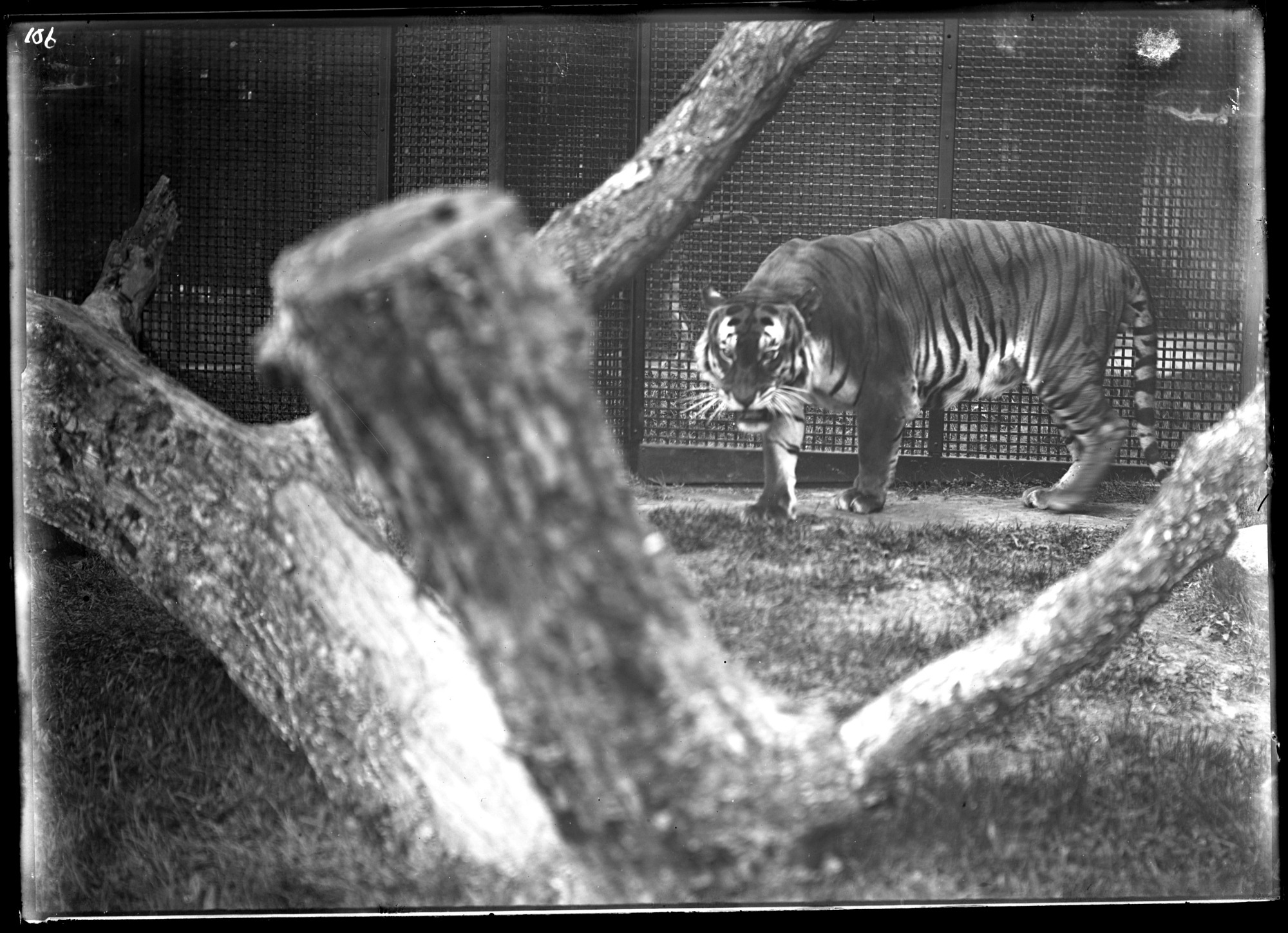 Bengal Tiger, Male, 1896, Smithsonian Institution Archives, SIA Acc. 14-167 [NZP-0106].