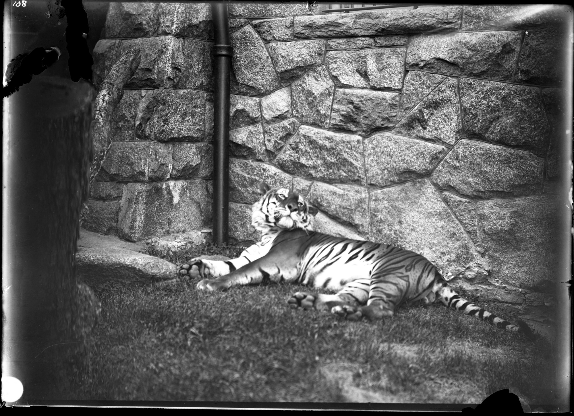 Bengal Tiger, Male, 1896, Smithsonian Institution Archives, SIA Acc. 14-167 [NZP-0108].