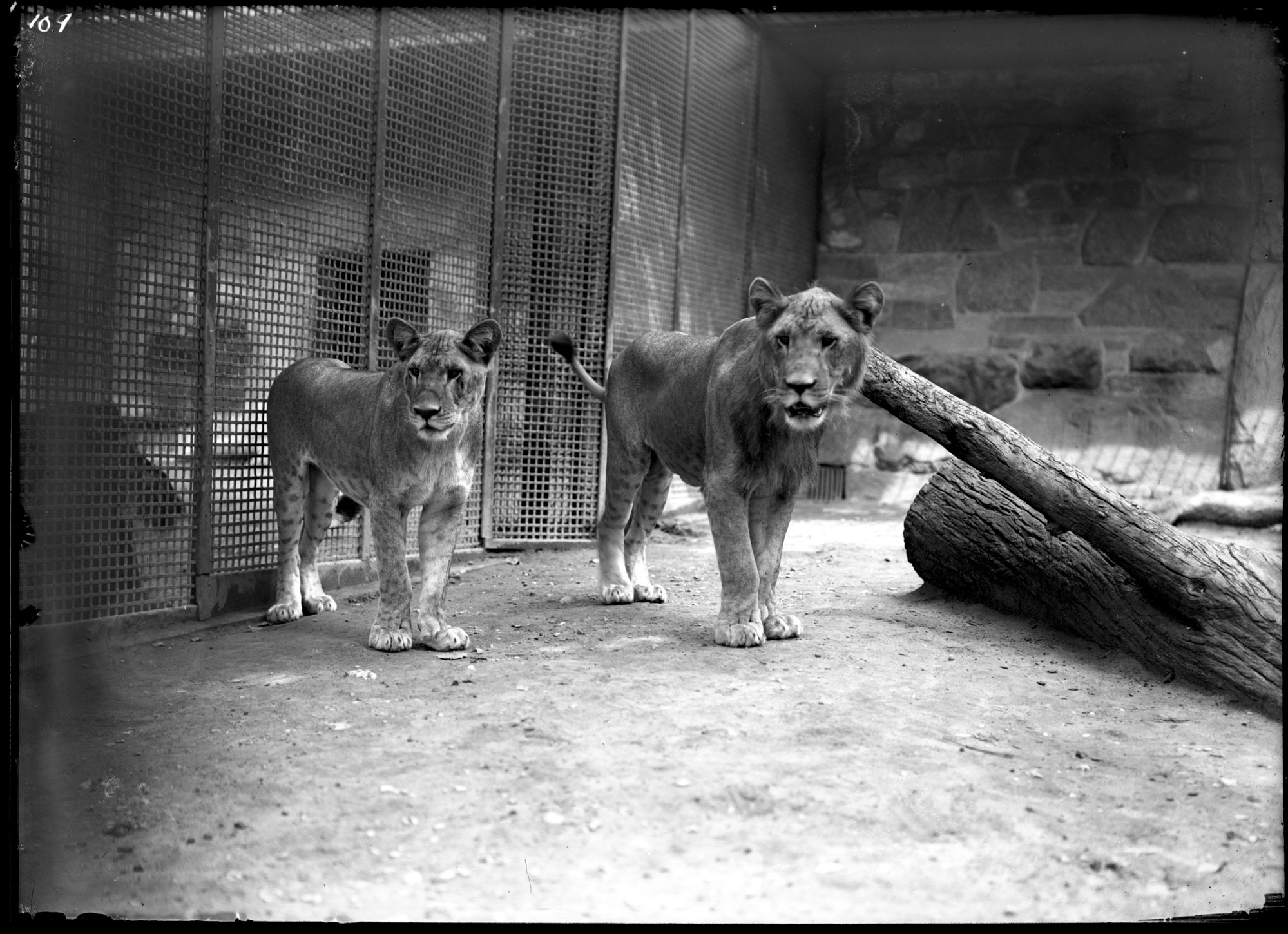 Lions, Male and Female, 1905, Smithsonian Institution Archives, SIA Acc. 14-167 [NZP-0109].