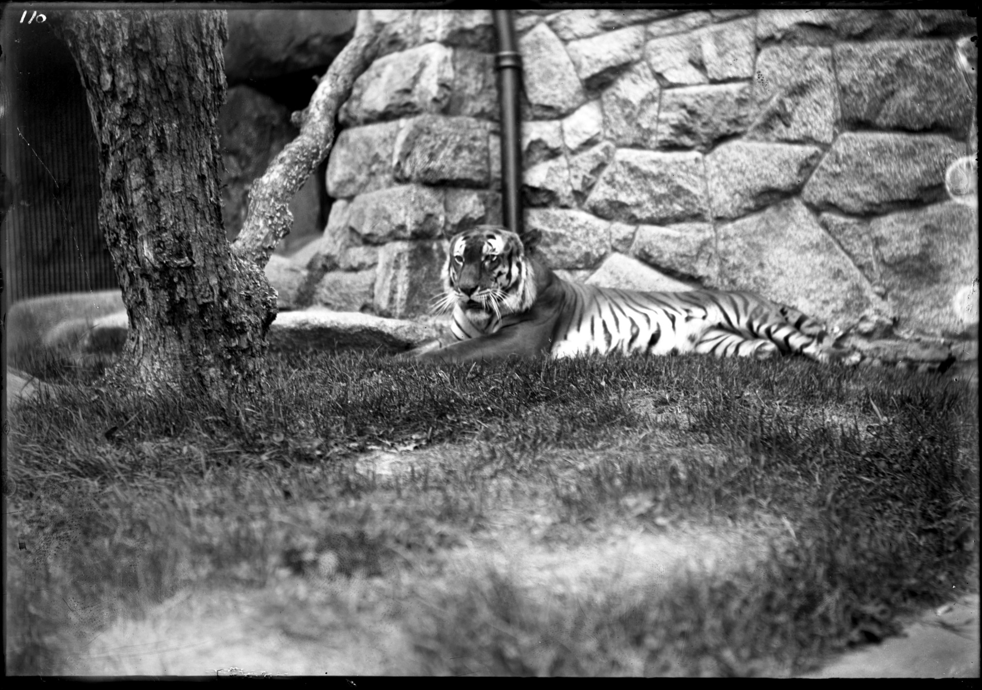 Bengal Tiger, Male, 1896, Smithsonian Institution Archives, SIA Acc. 14-167 [NZP-0110].