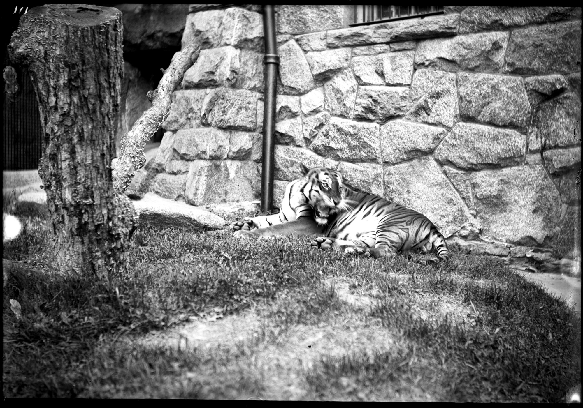 Bengal Tiger, Male, 1896, Smithsonian Institution Archives, SIA Acc. 14-167 [NZP-0111].