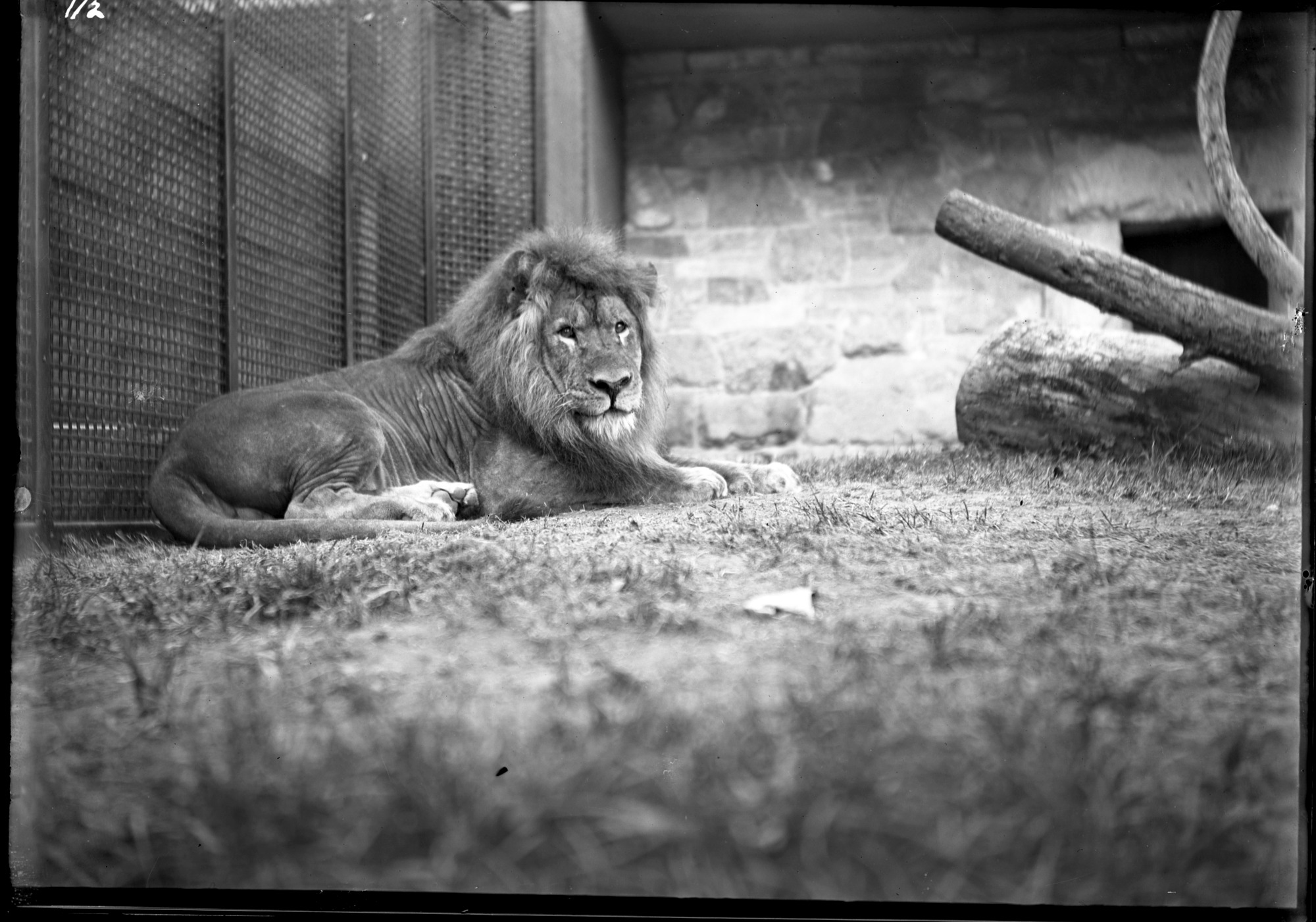 Lion, Male, 1900, Smithsonian Institution Archives, SIA Acc. 14-167 [NZP-0112].