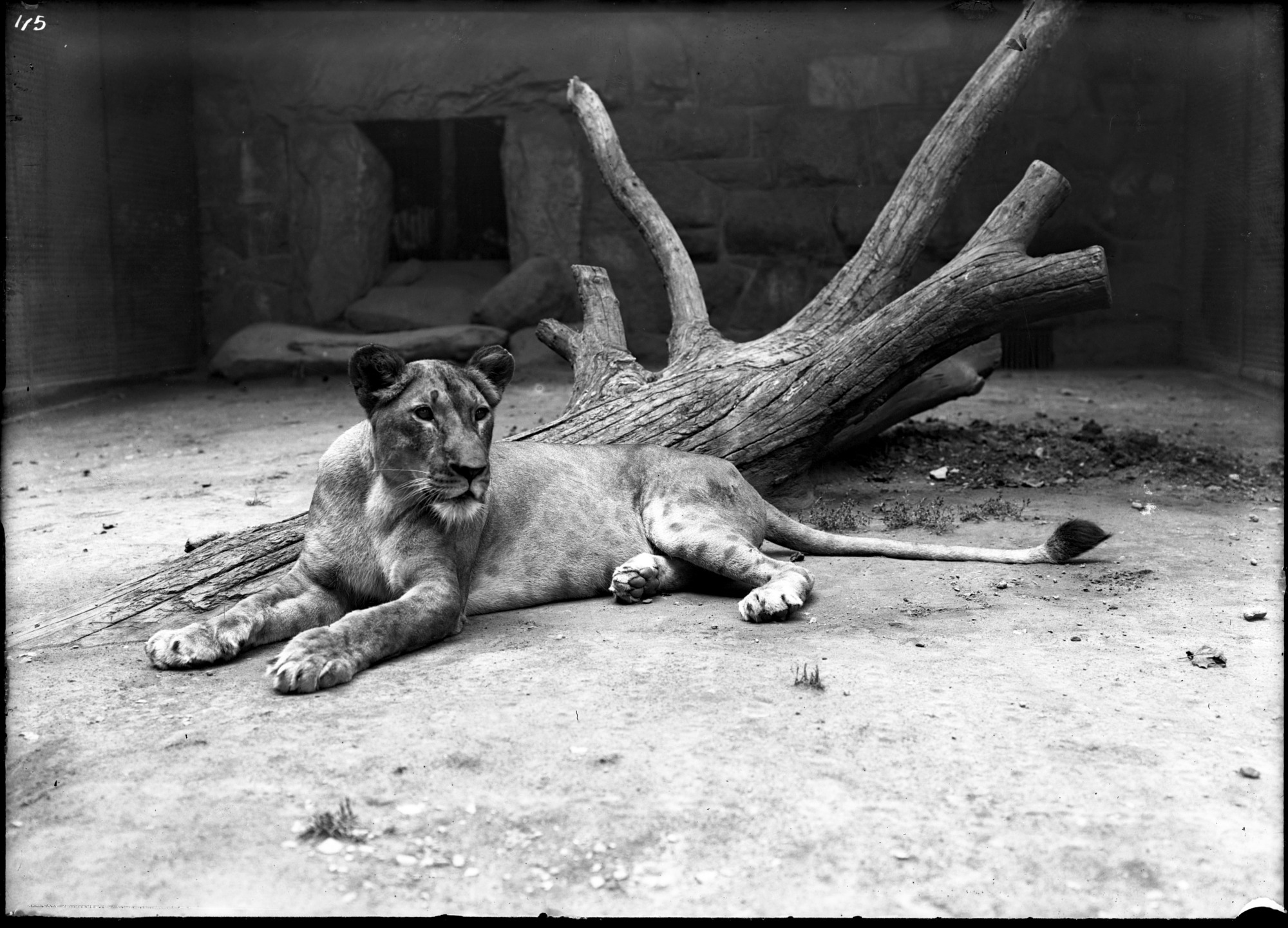 Lion, Female, 1900, Smithsonian Institution Archives, SIA Acc. 14-167 [NZP-0115].