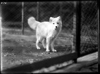 Arctic fox in an enclosure at the National Zoological Park, c. 1900s, NZP-0274.