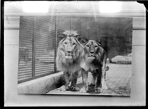 Image of Lions, Male and Female