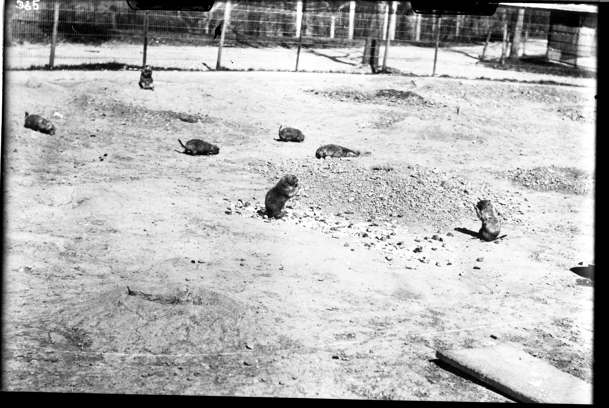 Black-Tailed Prairie Dogs, 1910, Smithsonian Institution Archives, SIA Acc. 14-167 [NZP-0365].