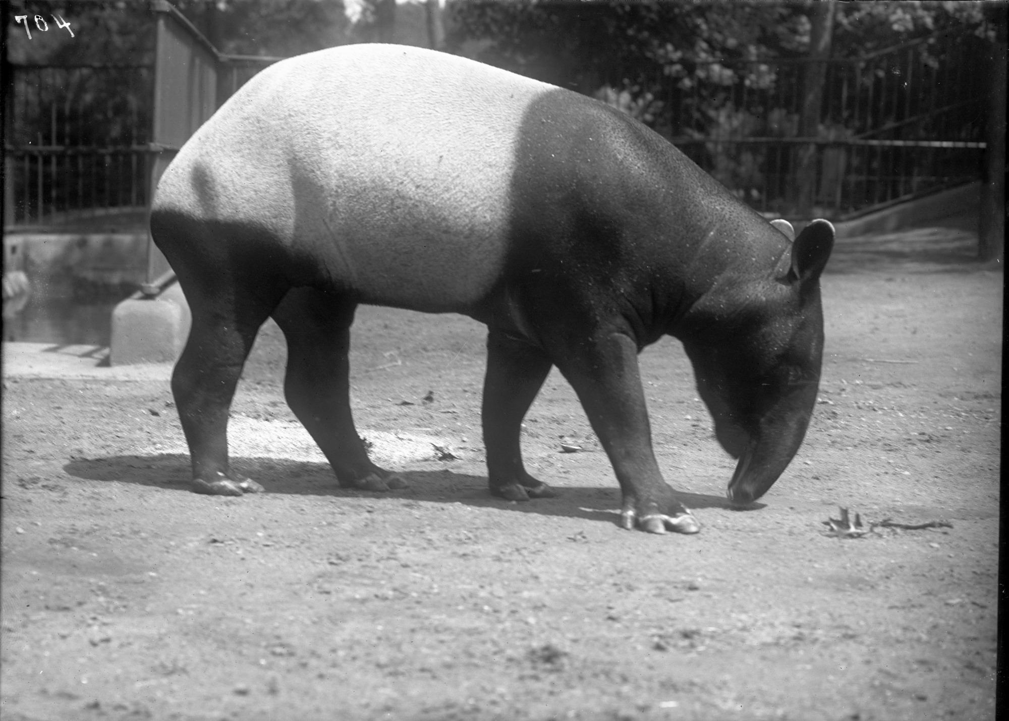 Malayan Tapir, Male, 1920, Smithsonian Institution Archives, SIA Acc. 14-167 [NZP-0704].