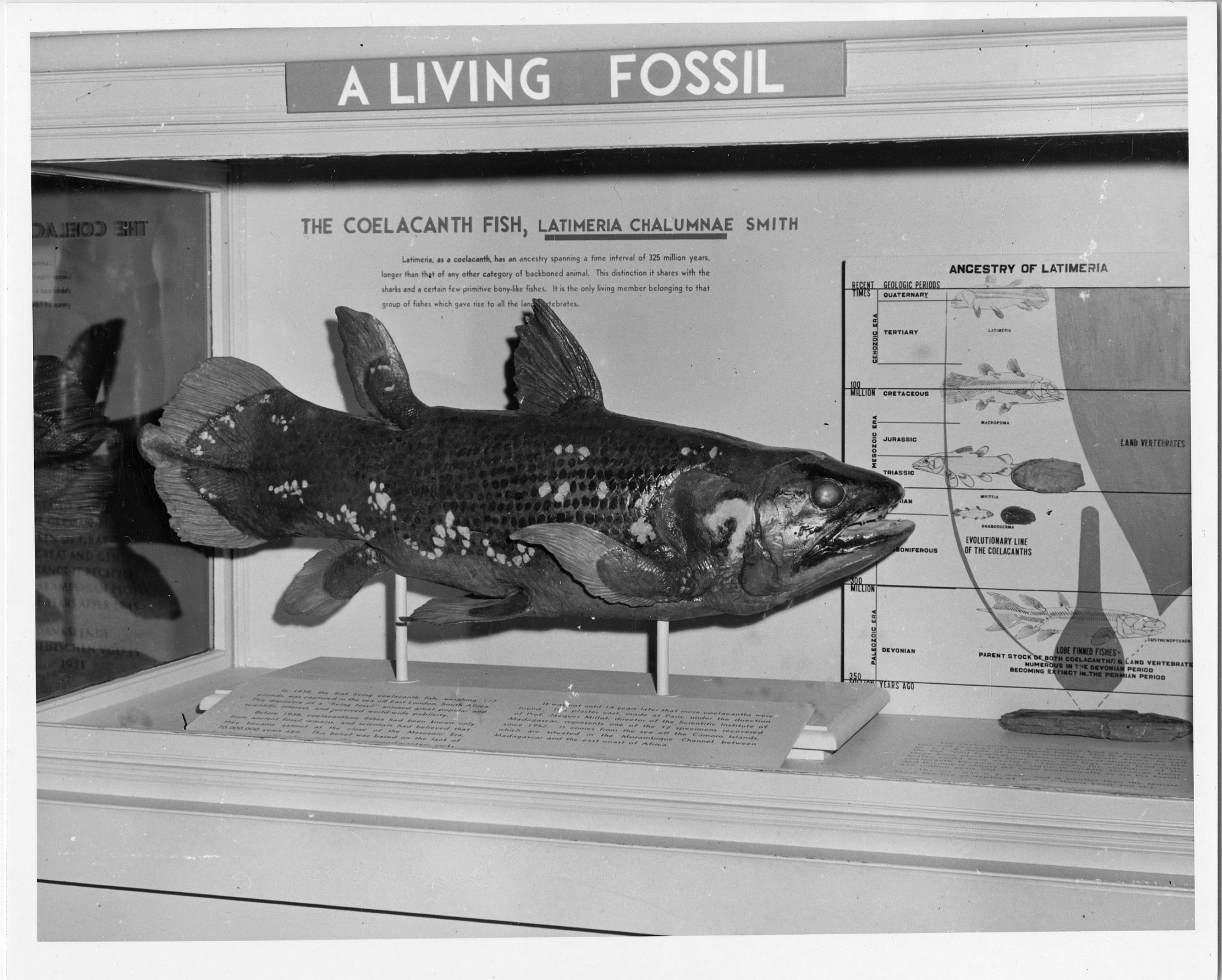 Aug 20 Coelacanth Fish, NMNH