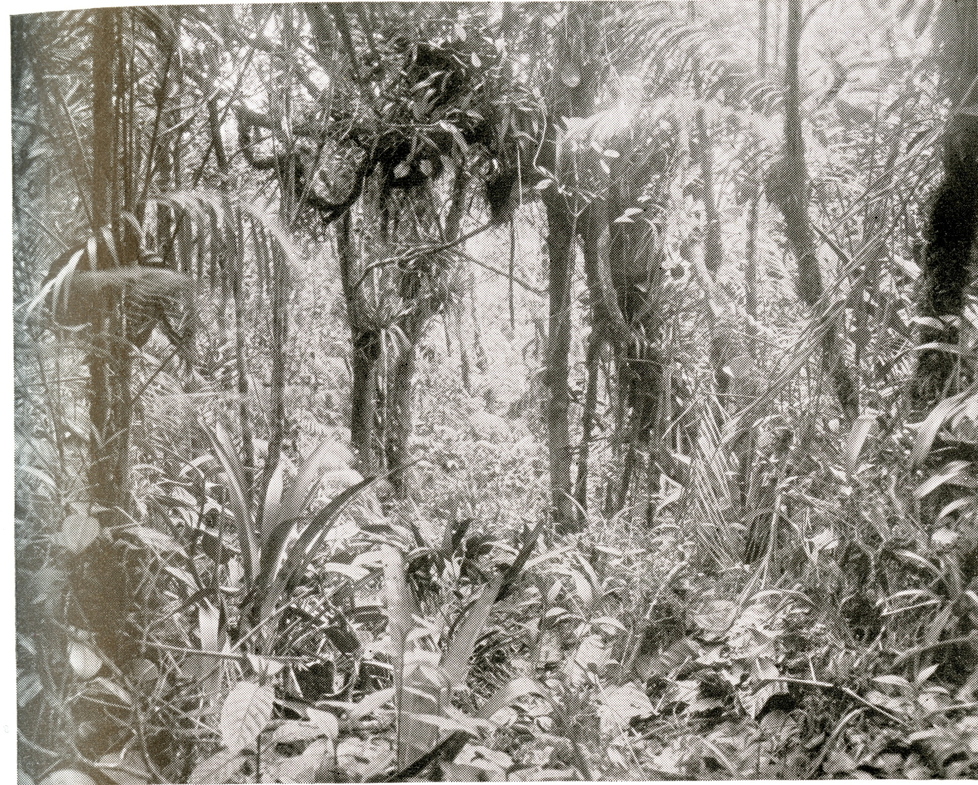 Tropical Thicket on Cerro Azul, near Canal Zone